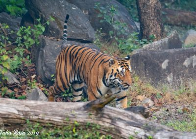 Wildlife of Kanha and Bhandhavgarh National Parks