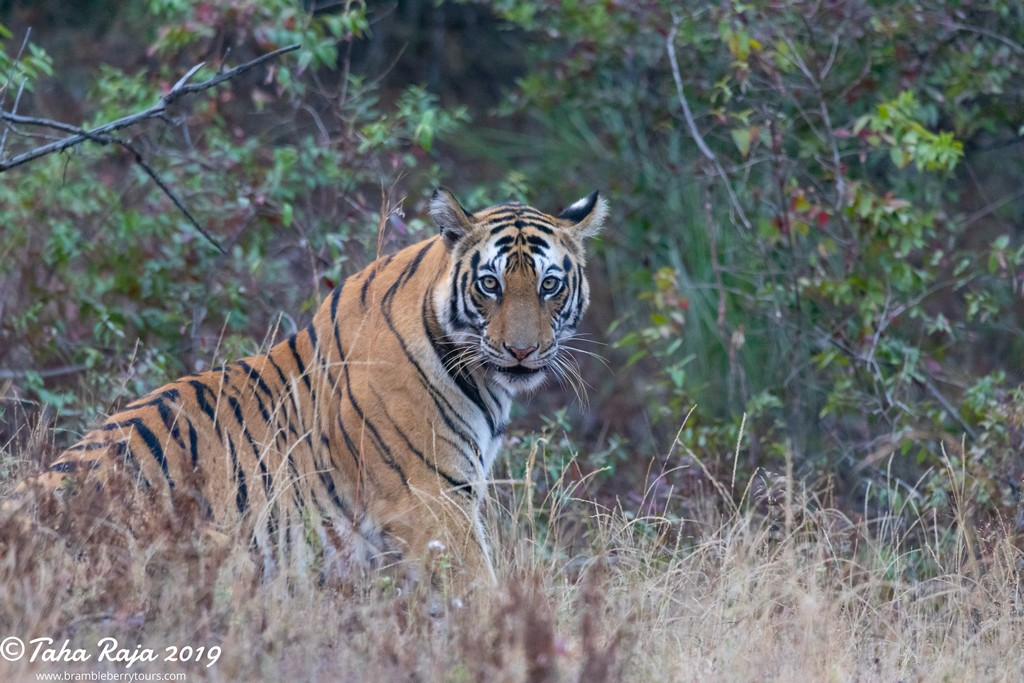 Kanha and Bandhavgarh National Park, India 2019