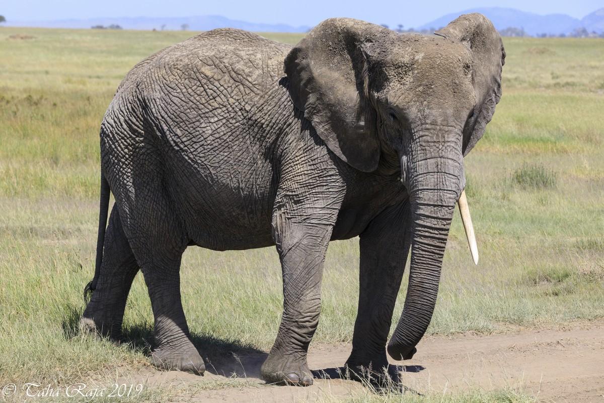 Discover Serengeti - Elephant