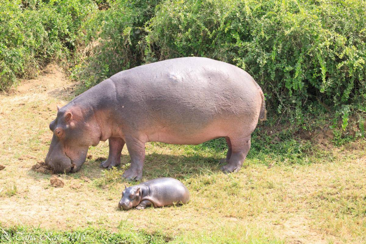 Discover Serengeti - Hippo