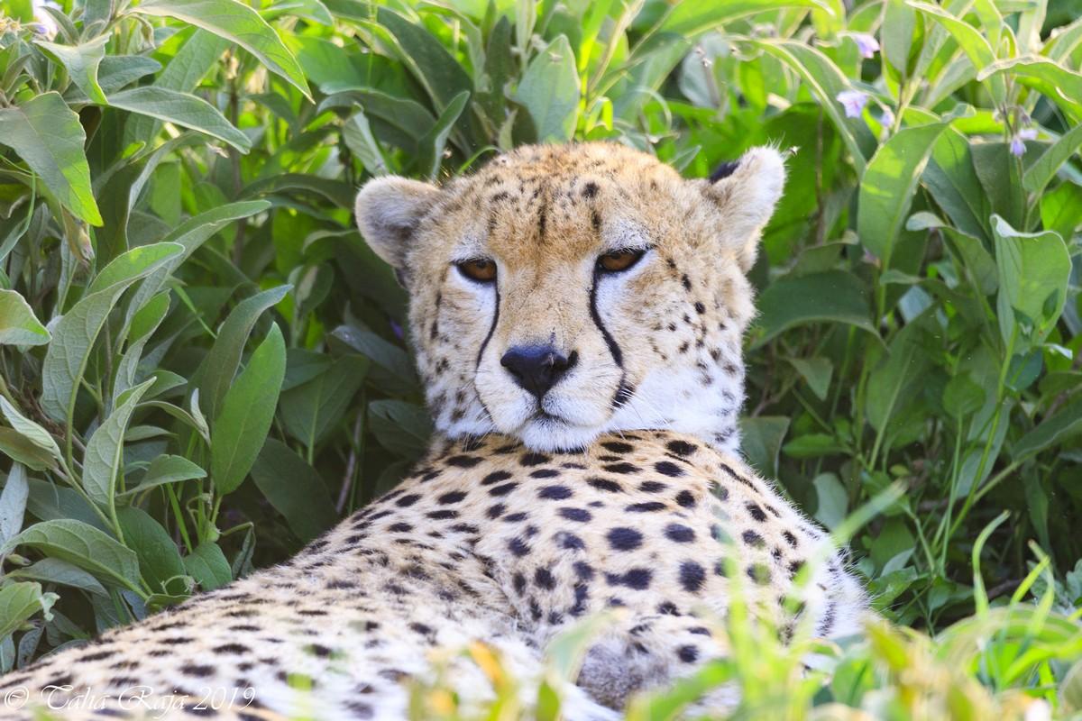 Discover Serengeti - Tiger