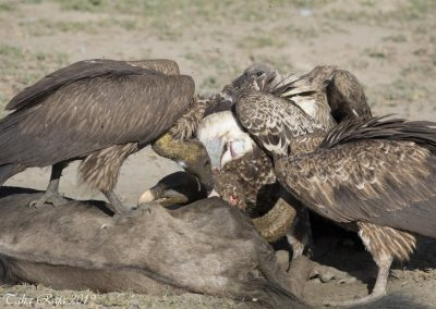 Vultures Eating Wildebeest