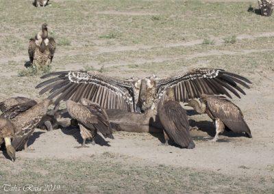 Vultures Eating Wildebeest