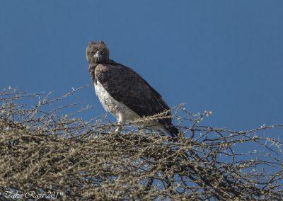 Eagle / Hawk