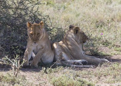 Two Male Cub Lion