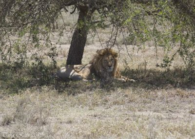 Male Lion under the Tree