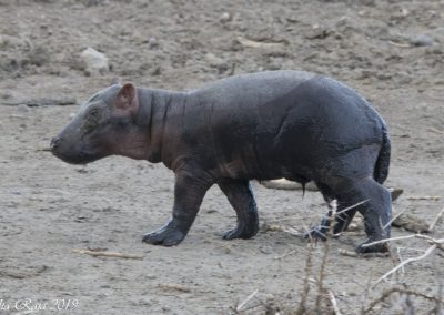 New Born Baby Hippo