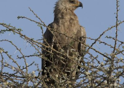 Eagle in the Serengeti