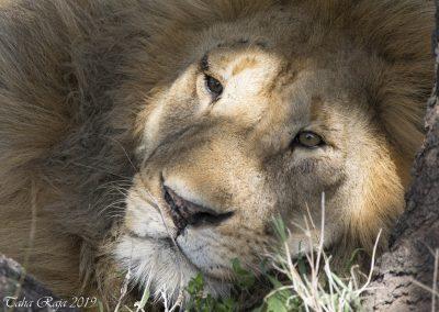 Stare me down Lion
