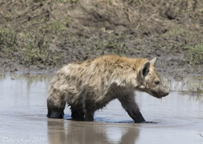 Hyena in the mud