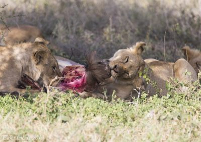 Lion Wildebeest Hunting and Eating