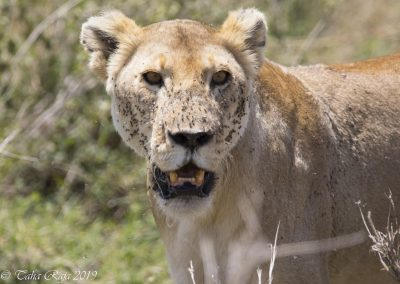 Lion with Flies on the face from the Blood from Hunt