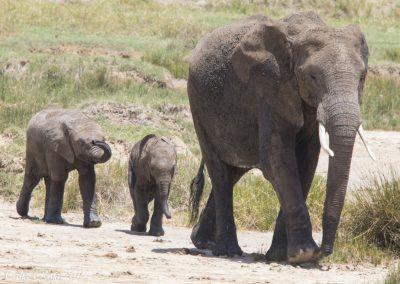 Hi Ho Hi Ho - The Elephant March is on.  Baby Elephants in toe