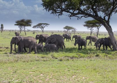 A Herd of Elephants on the Serengeti Plain - Migration Wildebeet