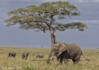 A Family of Elephants under the Acacia Tree