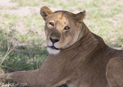 Lioness - A Close Up Portrait