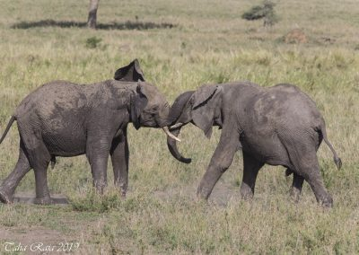 Two young bulls sparring.  A practice run of fighting elephants
