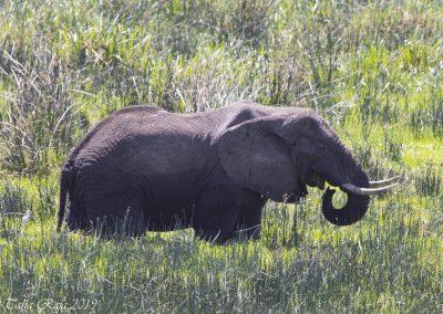 Elephant in swamp