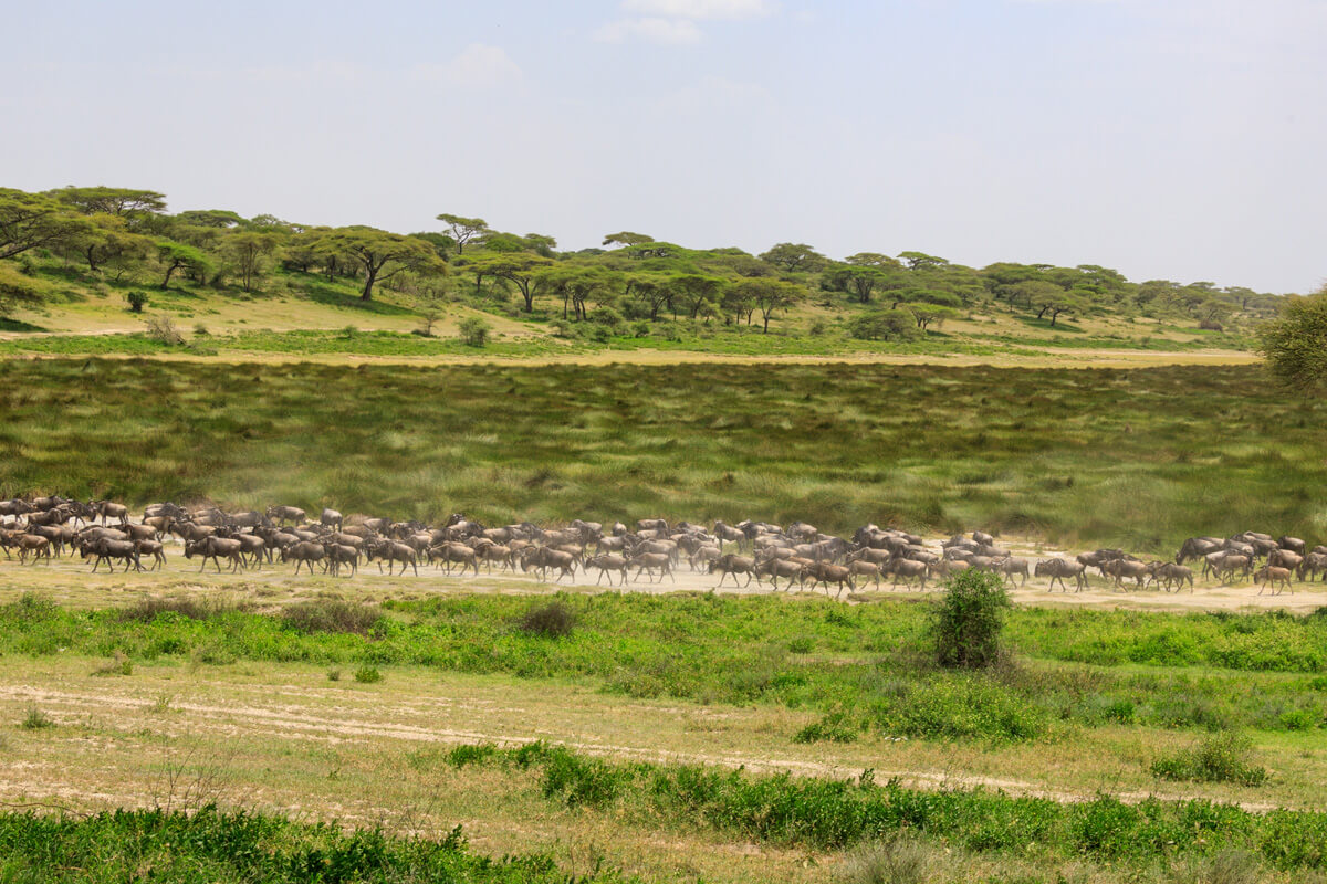 The Great Migration of Northern Serengeti 2021